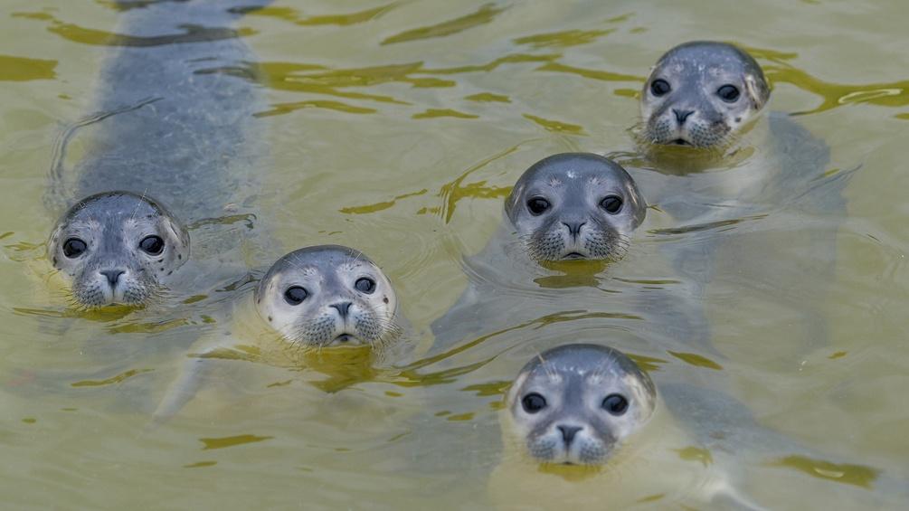 Fünf Heuler im Wasser