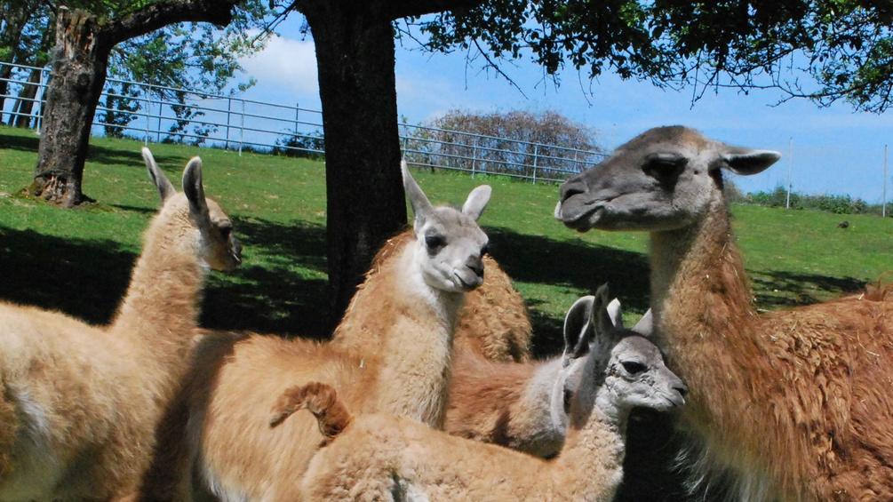 Lamas auf der Weide
