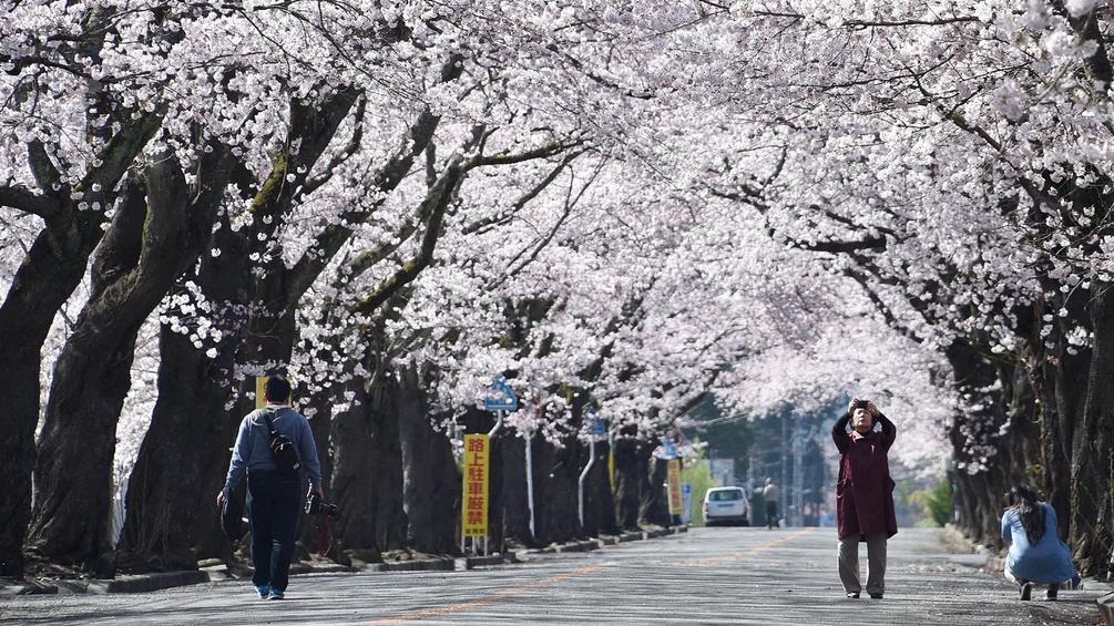 Kirschblüte in Tomioka, Fukushima