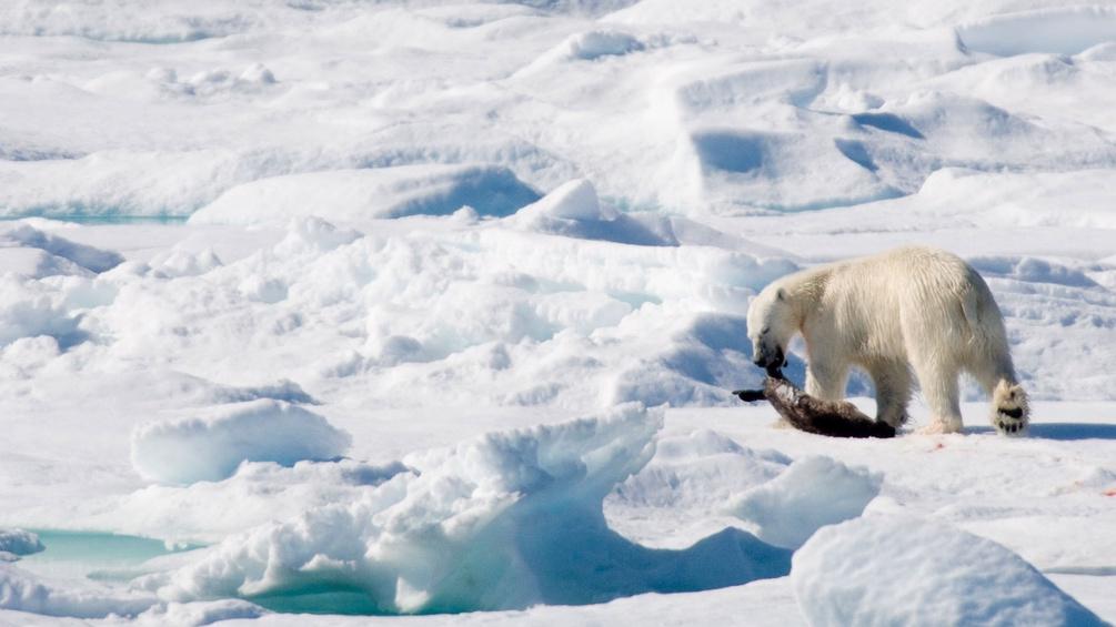 Eisbär frisst Robbe