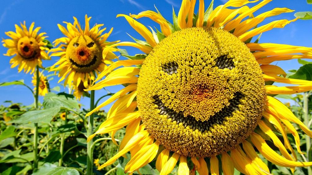 Eine lachende Sonnenblume