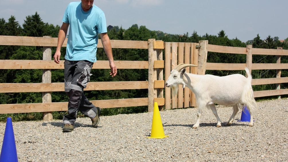 Training Ziege Freifolge