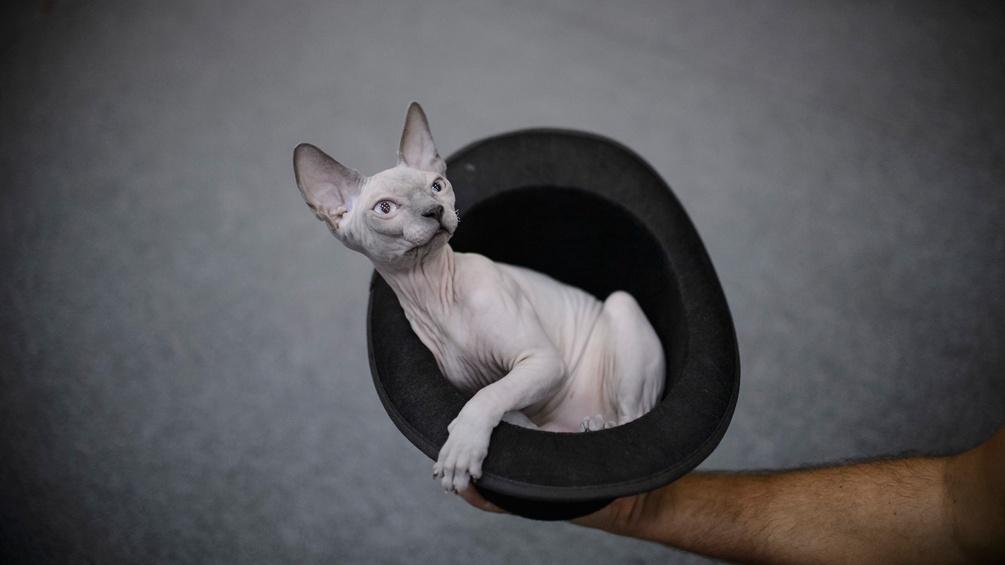nackte Katz in Hut