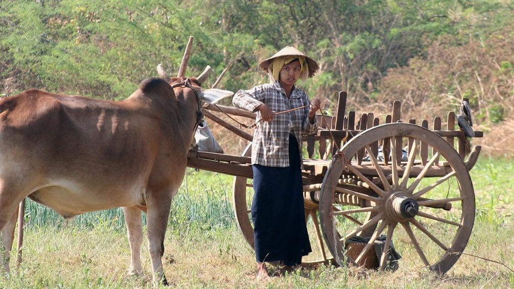 Feldarbeit mit Ochsengespann