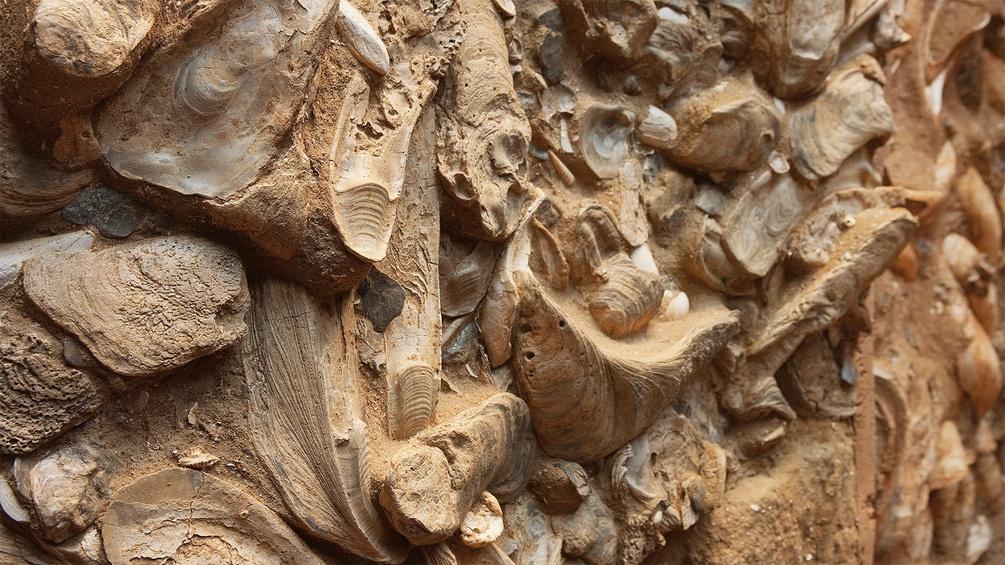 Fossiles Austernriff