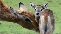 Litschi-Moorantilope mit Nachwuchs