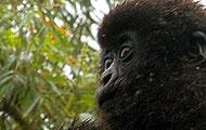 Kopf eines Gorilla-Babys