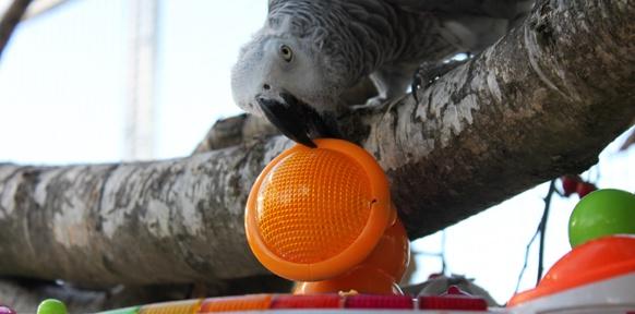 Papagein mit Babyklavier